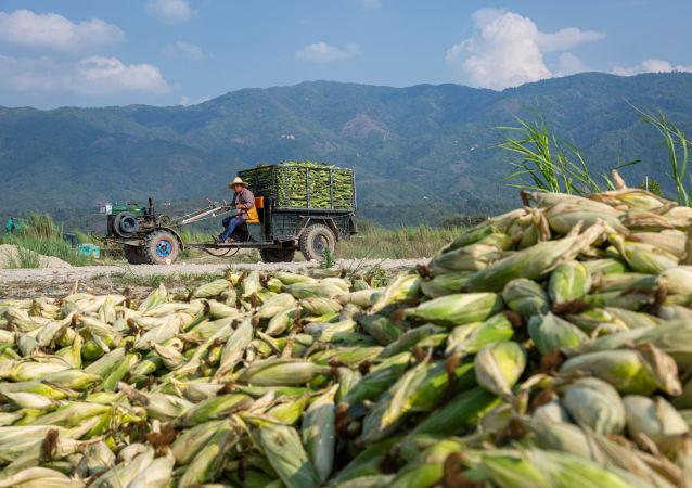 發霉玉米視頻引發中國人擔憂糧食安全