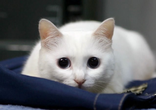 網紅萌寵「Longcat」貓咪在日本去世