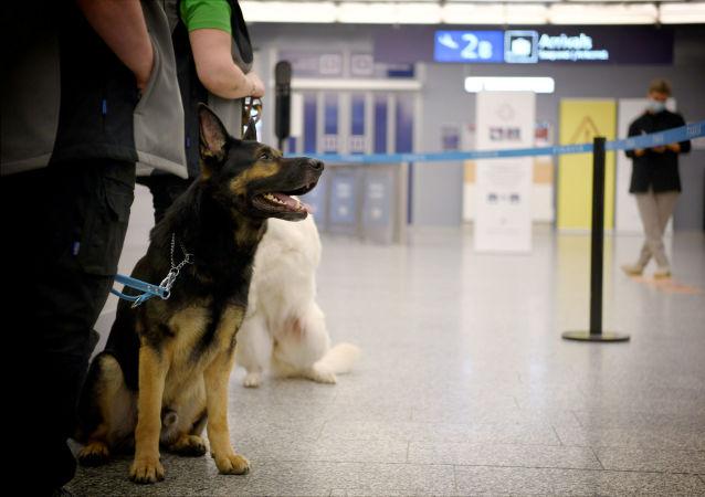 芬蘭赫爾辛基機場使用嗅探犬檢查乘客是否感染新冠病毒