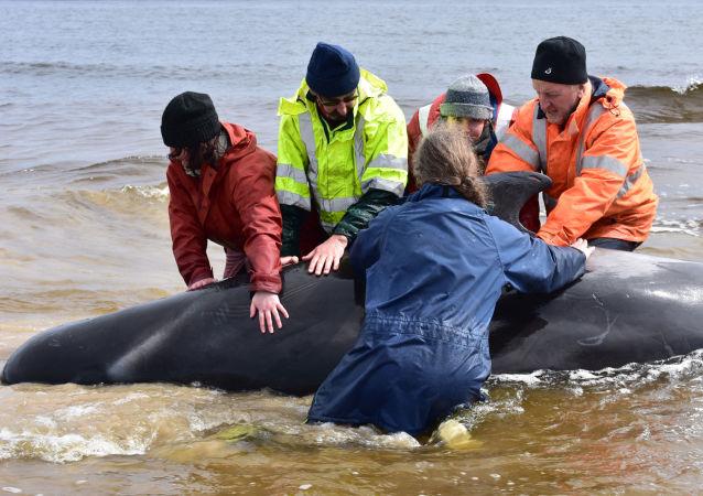被海浪衝上新西蘭海岸的100多頭巨頭鯨和寬吻海豚死亡