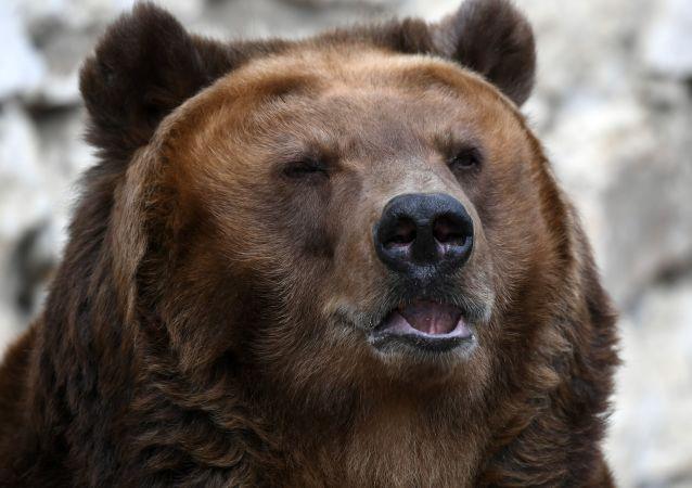 俄濱海邊疆區一名男子遭母熊襲擊 狩獵監督人員救下熊崽