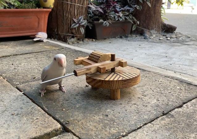 會做體操的中國鸚鵡