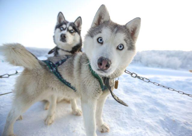 芬蘭拉普蘭旅遊公司因沒有遊客散髮哈士奇狗