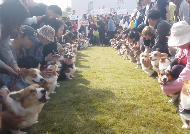 上海舉行柯基聚會 狗狗們盛裝出席