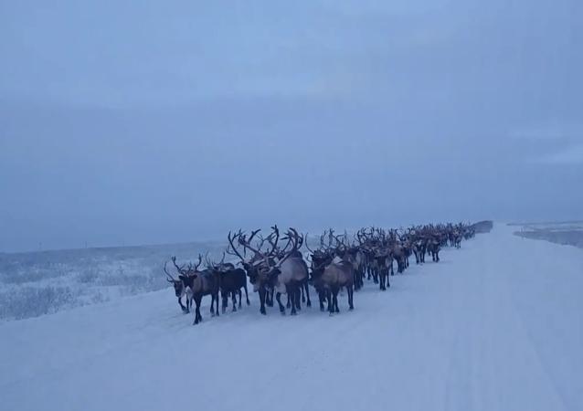 俄羅斯北方的遊牧民族如何驅趕馴鹿?