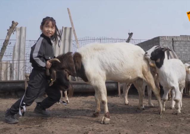 7歲女孩管300多只羊