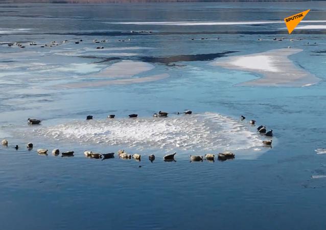 數千隻海豹登上貝加爾湖初結的冰層上面
