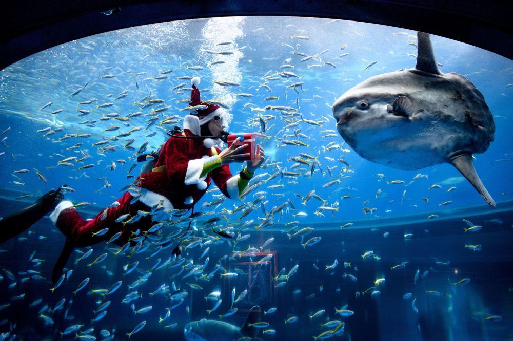 日本一名打扮成聖誕老人的潛水員在水族館餵魚
