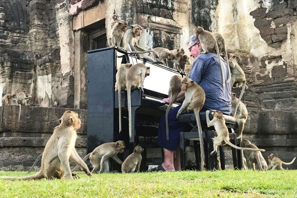英國音樂家保羅·巴頓(Paul Barton)在泰國華富里給猴子彈鋼琴