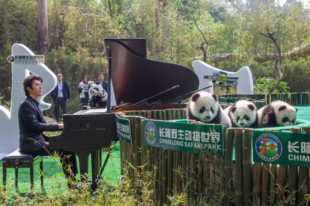 一名中國鋼琴家在中國為大熊貓演奏