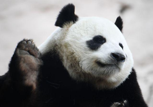 普京幫10歲小男孩實現願望擁抱大熊貓
