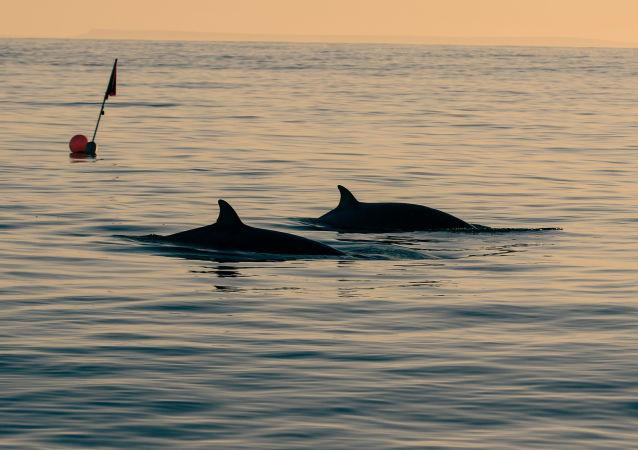 專家:2020年全球約2000頭灰鯨因不明原因死亡