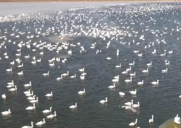 超過10萬天鵝在裡海沿岸過冬