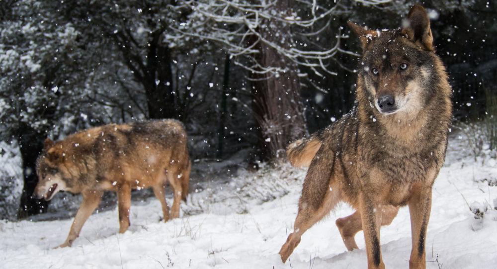 科學家確定狼借助甚麼度過冰河時期