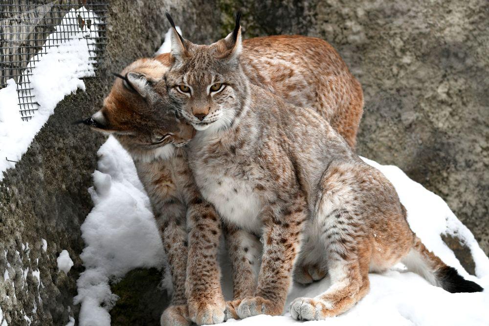 莫斯科市動物園猞猁在戶外展示區活動