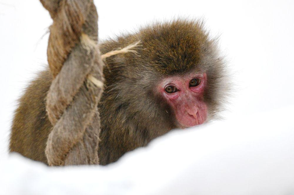 莫斯科市動物園日本獼猴在戶外展示區活動