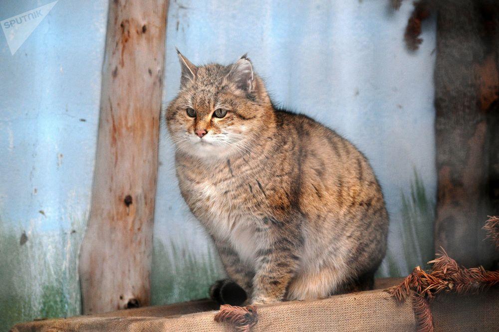 莫斯科市動物園草原野貓在戶外展示區活動