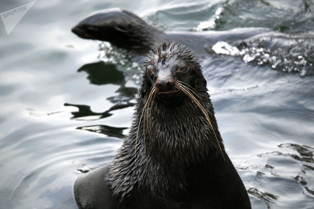 莫斯科市動物園極地海豹在戶外展示區活動