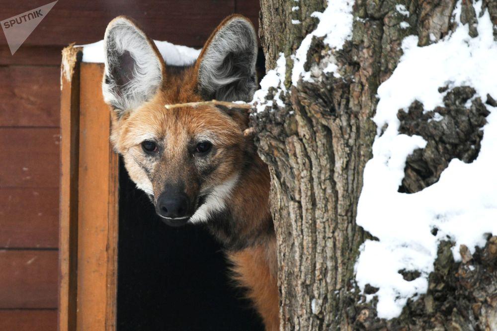 莫斯科市動物園鬃狼在戶外展示區活動
