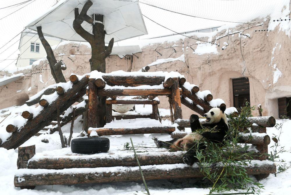 莫斯科市動物園大熊貓在戶外展示區活動