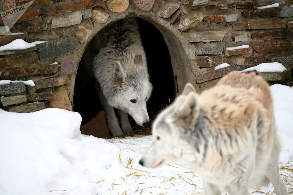 莫斯科市動物園北極狼在戶外展示區活動
