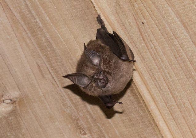 角菊頭蝠 (Rhinolophus cornutus)