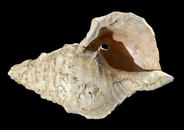在法國馬爾蘇拉洞(Marsoulas cave)中挖出的、具有1800年歷史的貝殼