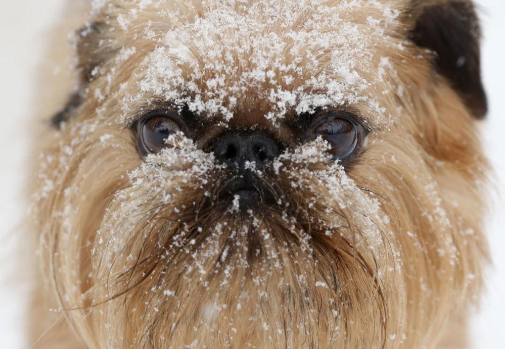 美國紐約州,奧爾巴尼哈德遜狗狗護理中心裡滿臉是雪的小狗。