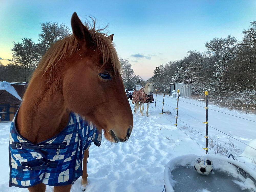 美國得州,披著披衣的馬在飲水器旁喝冰水。