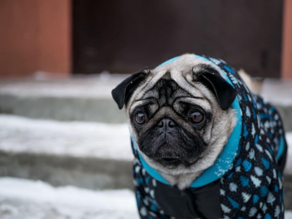 身穿冬季服裝的小哈巴狗。