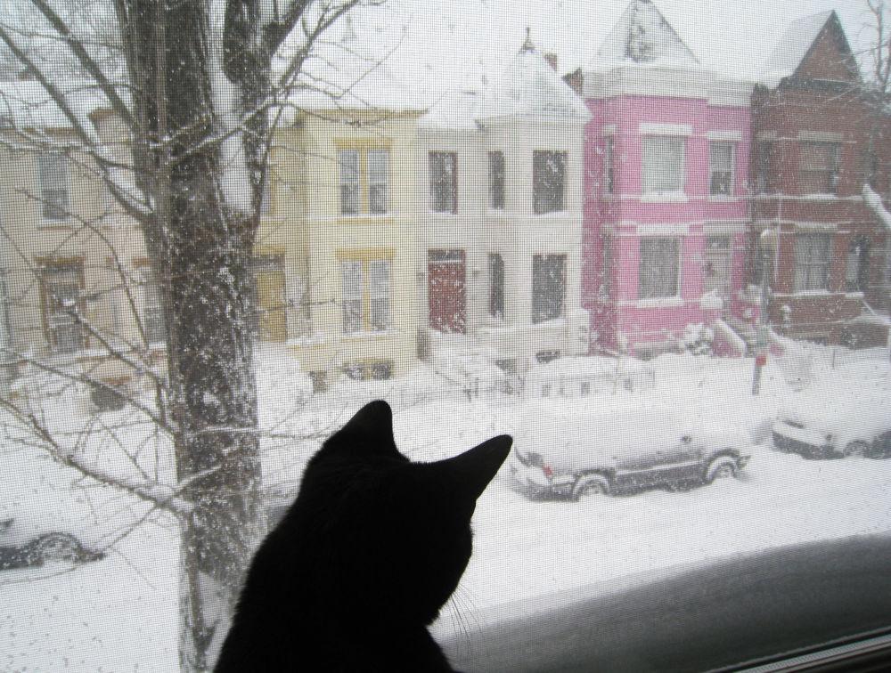 華盛頓,一隻貓坐在窗邊看著外面被積雪覆蓋的街道。