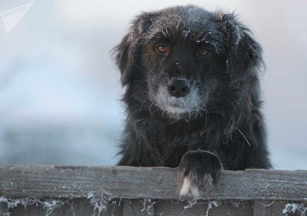鄂木斯克州塔拉市,嚴寒天氣下院子里的一隻狗狗。