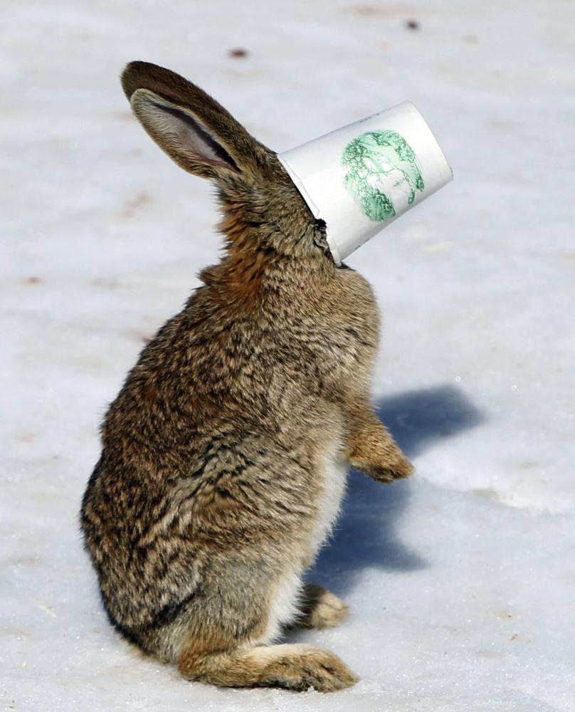 雪地裡,一隻兔子將臉扎進紙杯里。