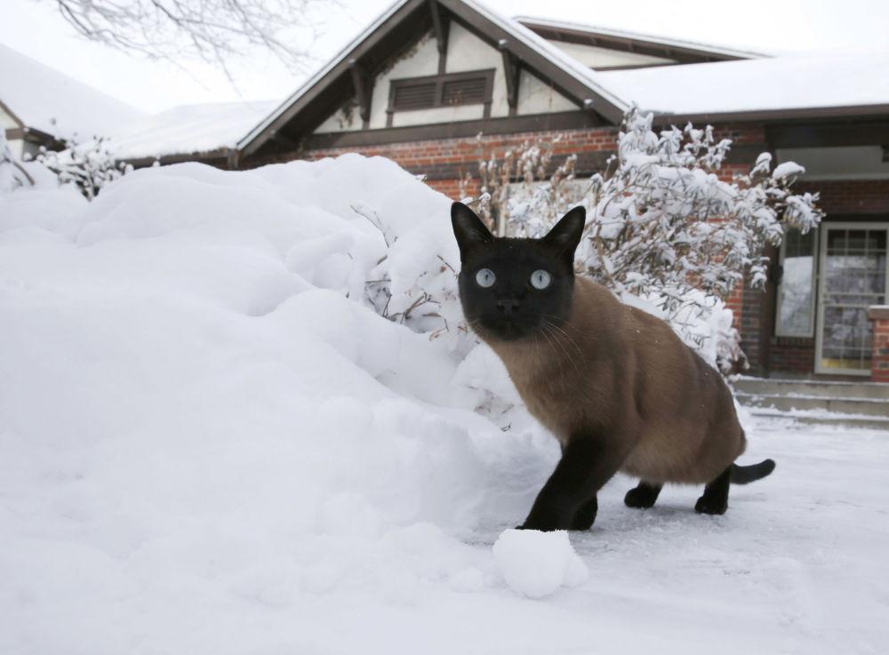 美國丹佛,一隻貓在暴風雪過後的院子里散步。