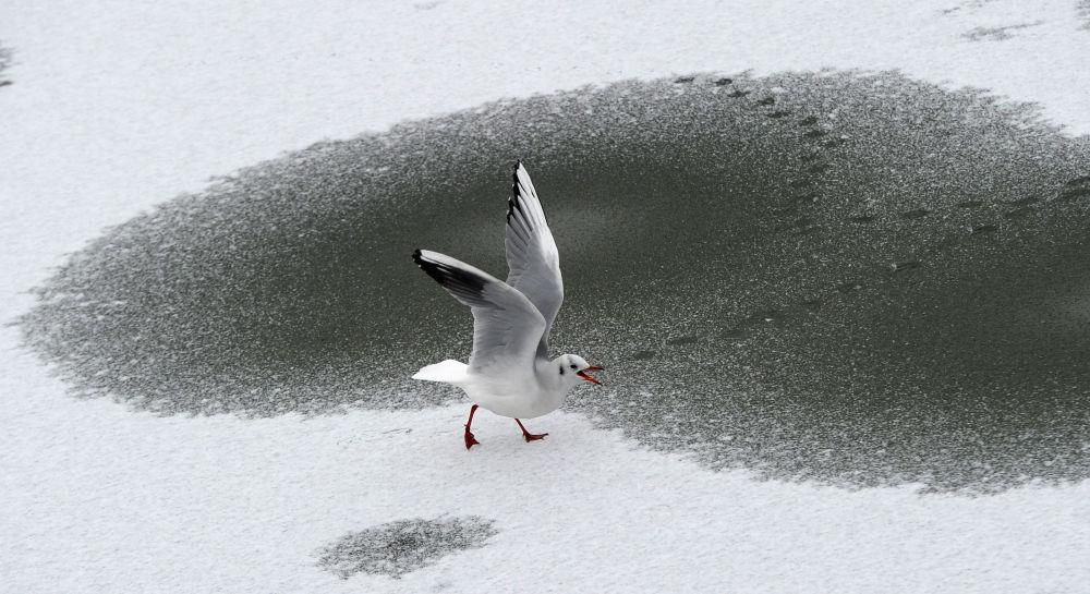 柏林,海鷗在冰凍的湖面上溜達。