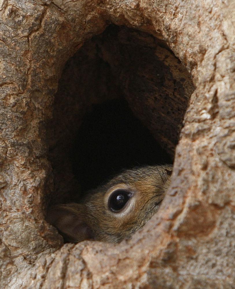 華盛頓,白宮對面拉斐特公園一個樹洞里的松鼠。