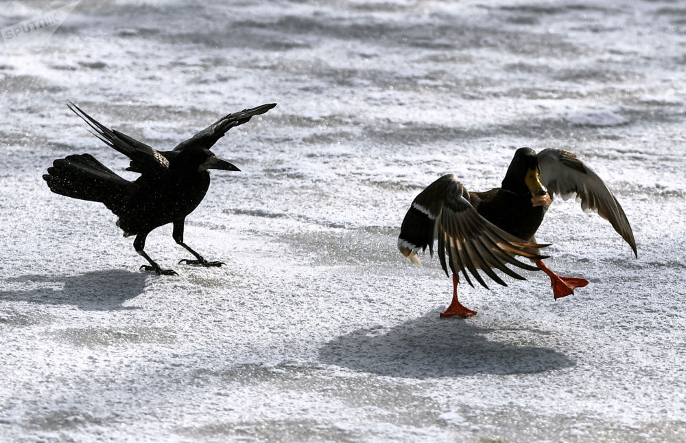 辛菲羅波爾市加加林公園水塘邊的飛鳥。