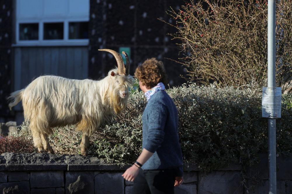 威爾士蘭迪德諾市居民悠閒的從山羊群一旁路過。