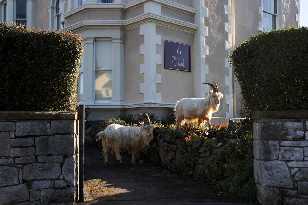 野生克什米爾山羊在威爾士蘭迪德諾市街道上游走。