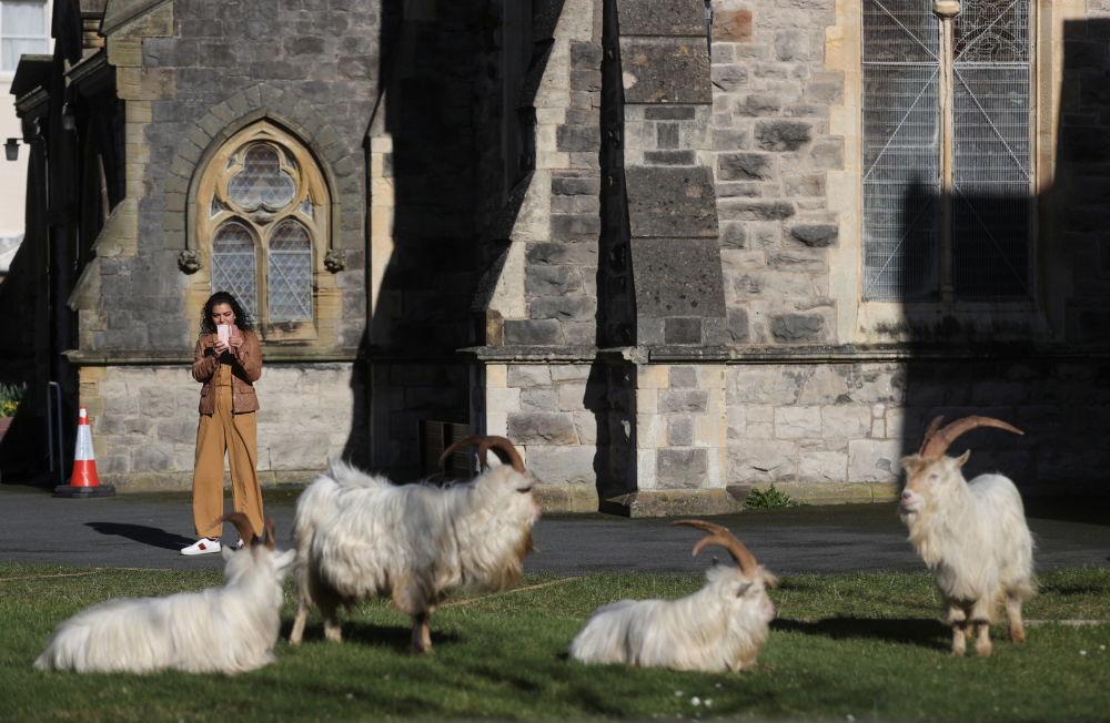 威爾士蘭迪德諾市居民給野山羊拍照。