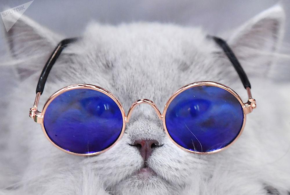 俄羅斯KoSHAriki show愛貓寵物展。