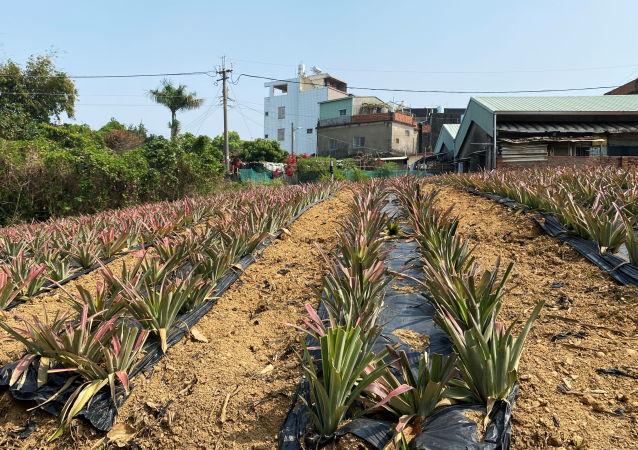 台灣地區菠蘿