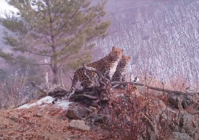 隱藏式攝像機偶遇稀有遠東豹