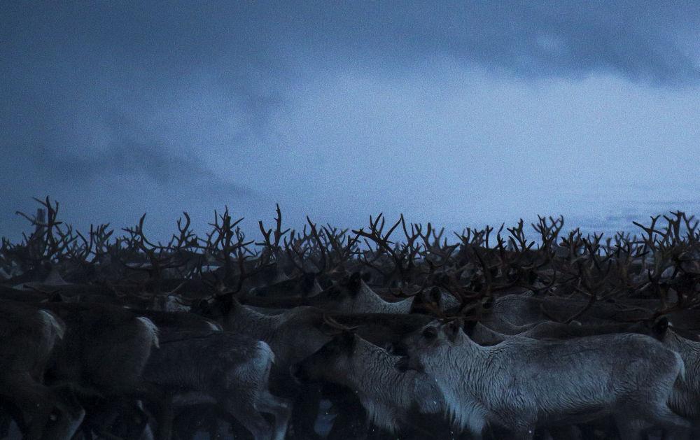 摩爾曼斯克州牧場上的馴鹿