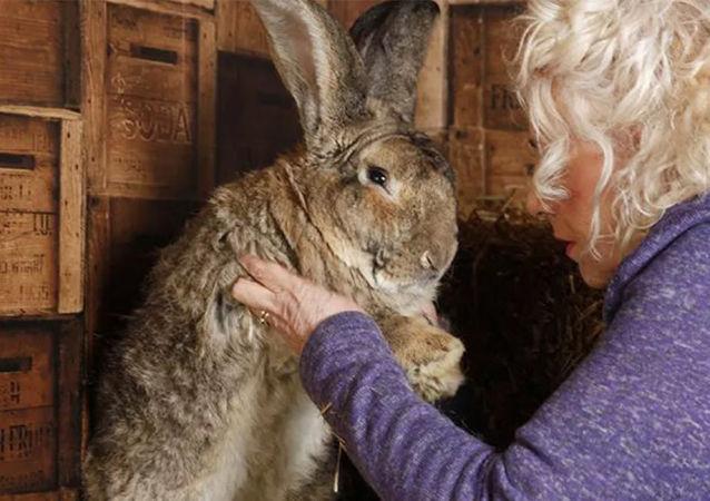 兔子大流士