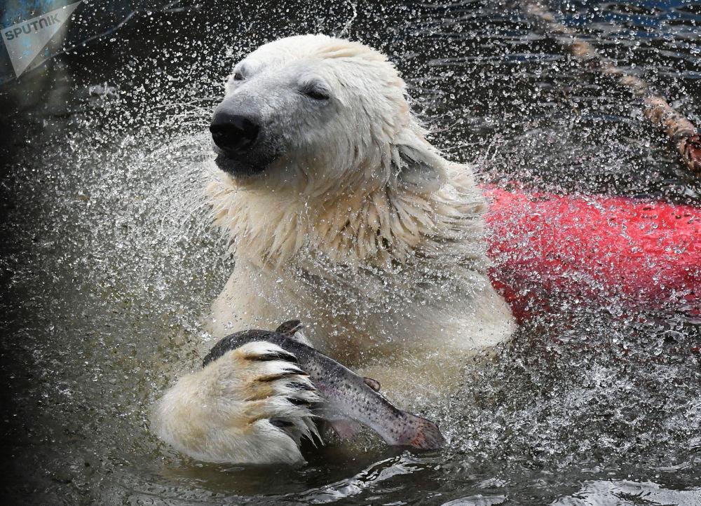 克拉斯諾亞爾市「羅耶夫」動植物公園中的北極熊。
