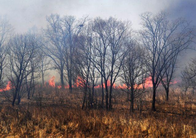 濱海邊疆區森林火災面積單日增長9倍