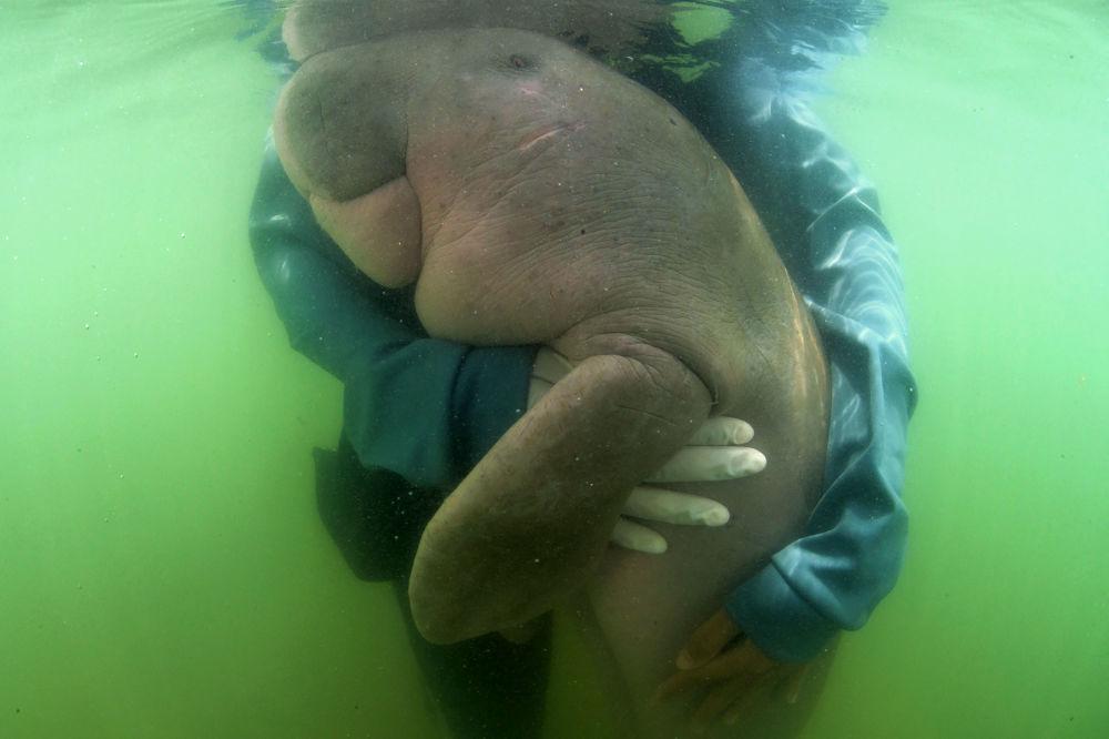 泰國海洋生物中心工作人員懷抱的一隻海牛。