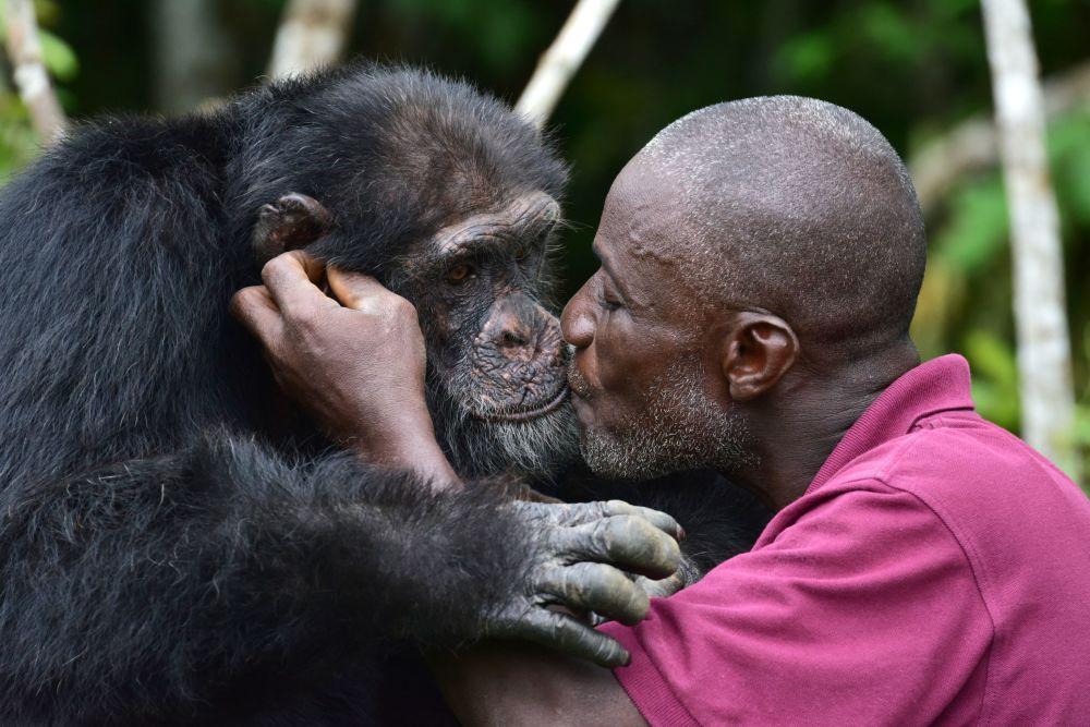 利比里亞幸存的黑猩猩。