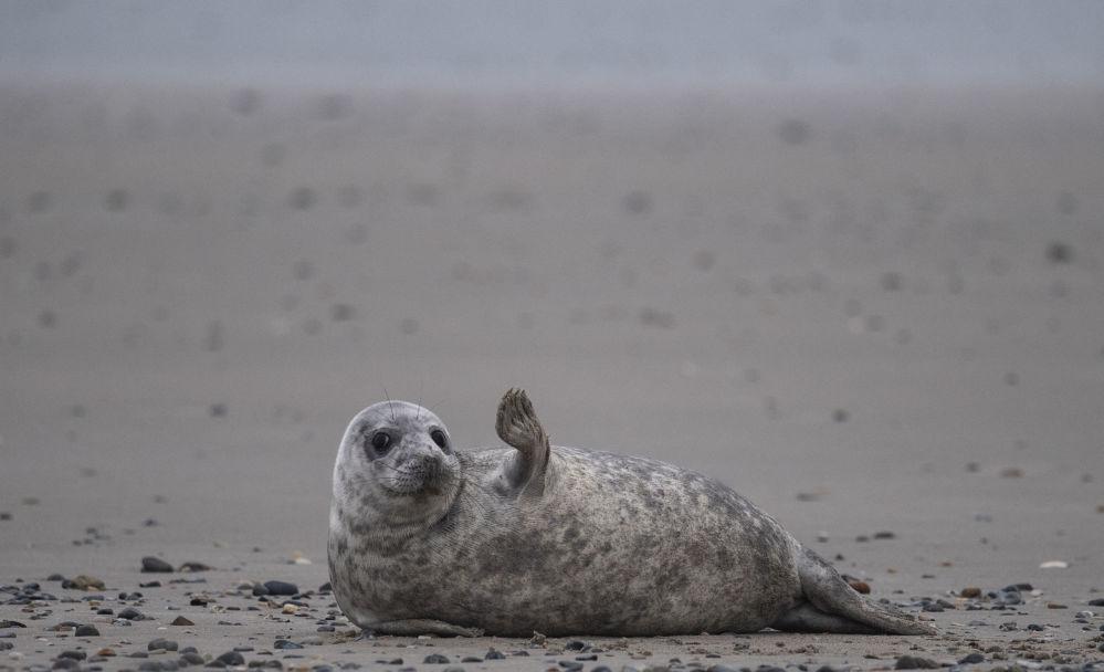 海利格蘭島沙灘上的一隻灰海豹。